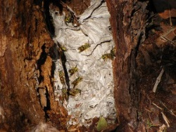 YJ nest in tree 300x225